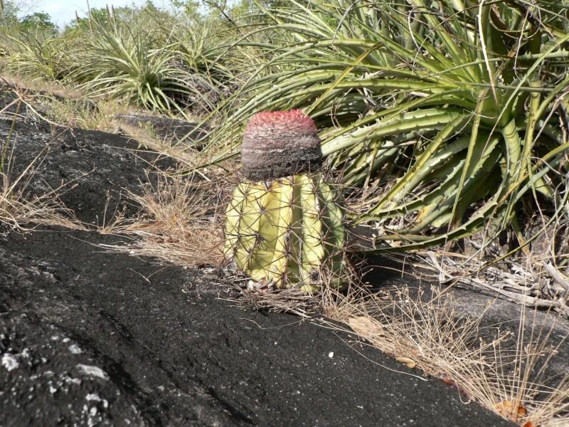 Cattleya aclandiae en hydro P1070014