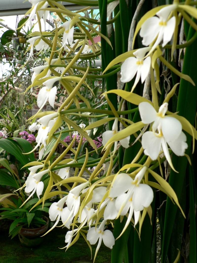 Epidendrum parkinsonianum (Coilostylis parkinsoniana) P1120711