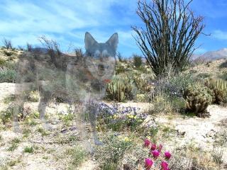 Desert Dog Ghost Balto_11