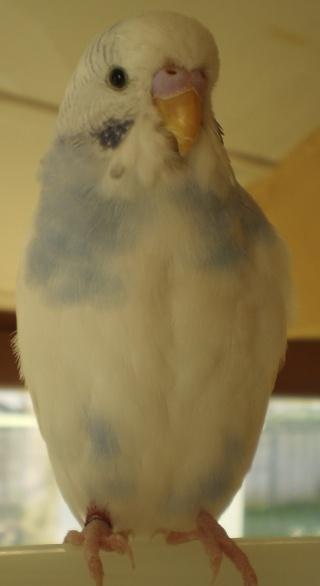Donne 1 perruche ondulée (femelle) sur Lyon P1010111