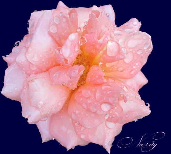 Mes roses Rose110