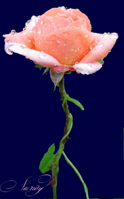 Mes roses Rose210