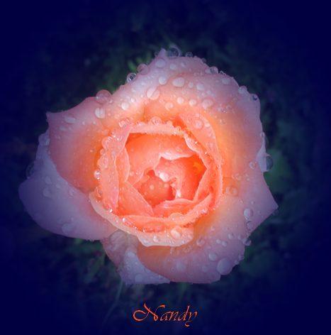 Mes roses Rose310