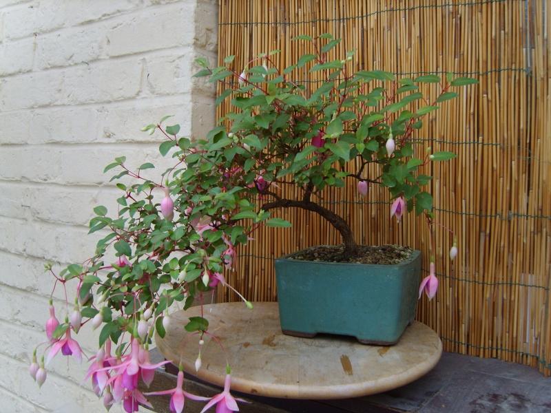 bonsaï fuchsia  - Page 3 27aout16