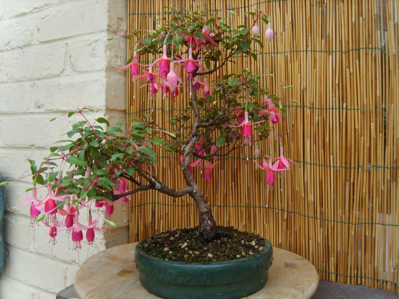 bonsaï fuchsia  - Page 3 27aout17