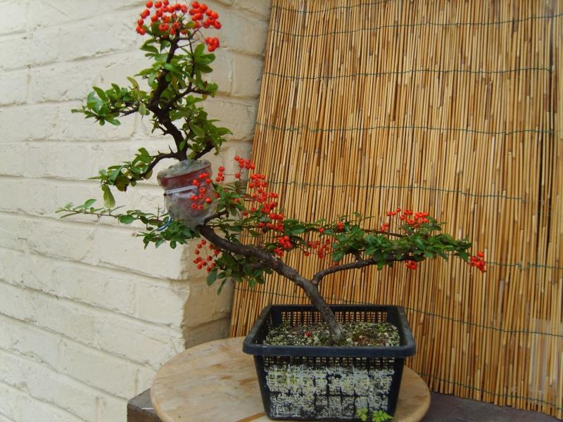mes bonsaïs - Page 7 27aout18