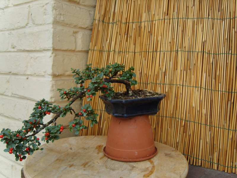 mes bonsaïs - Page 7 27aout21