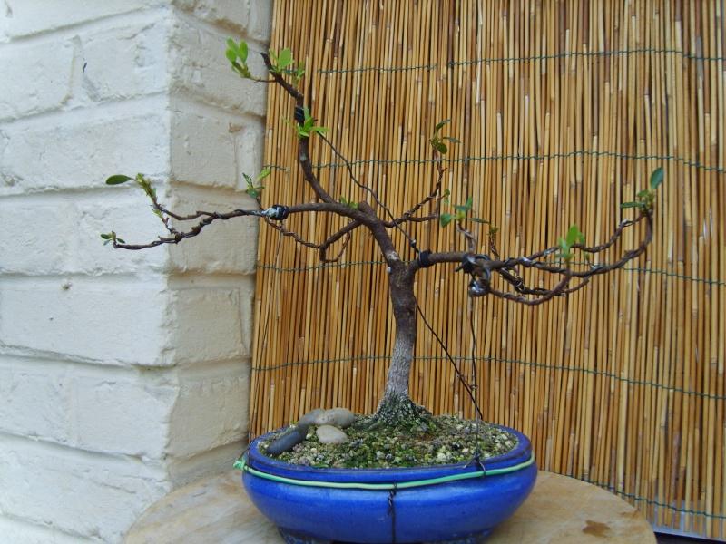 mes bonsaïs - Page 6 28mai210