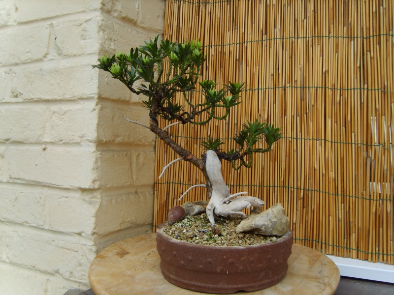 mes bonsaïs - Page 6 31mai210