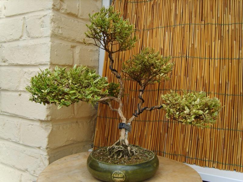 mes bonsaïs - Page 7 31mai213
