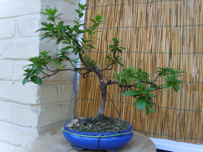 mes bonsaïs - Page 7 9sept211