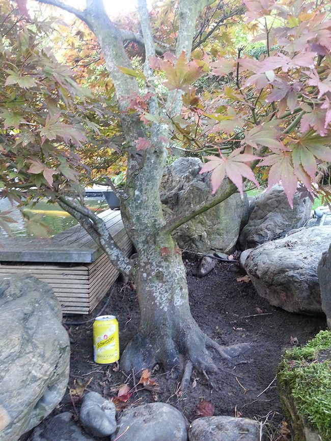 Giant Japanese maple project  20131013