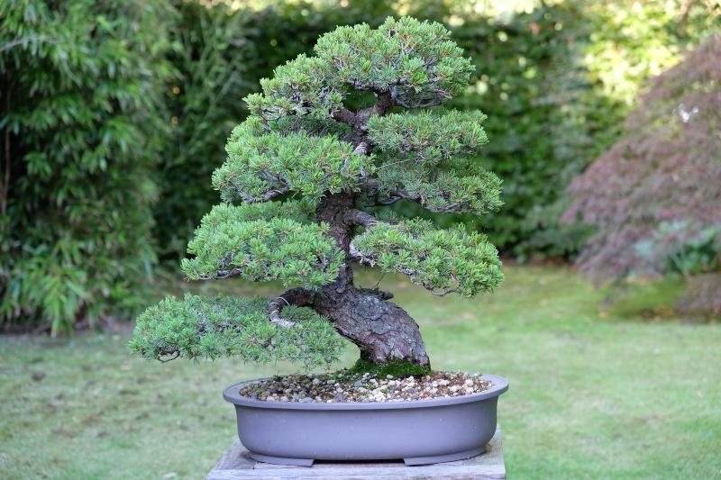 Pinus Parviflora kokonoè 2007 and 2014 Dscf0411