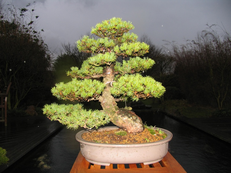 Pinus Parviflora kokonoè 2007 and 2014 Img_5210