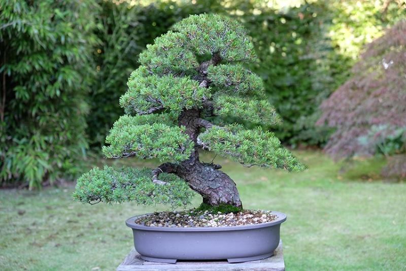 Pinus Parviflora kokonoè 2007 and 2014 Virtua10