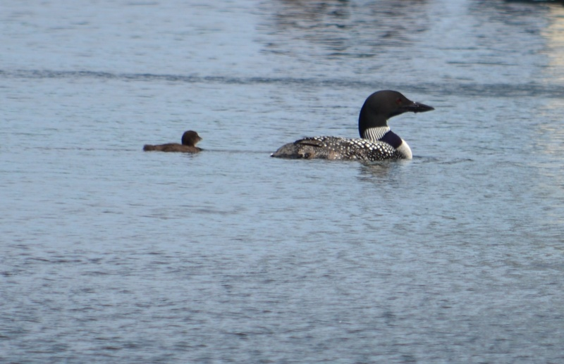 Baby loons - Page 5 Dsc_0024