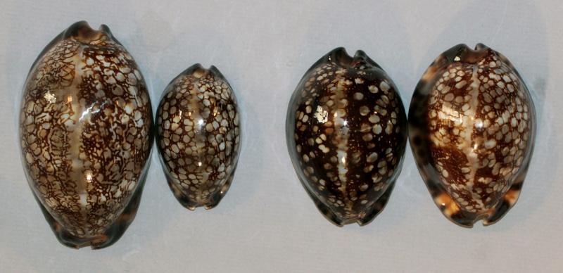 Mauritia maculifera martybealsi Lorenz, 2002 - Page 3 Img_8710