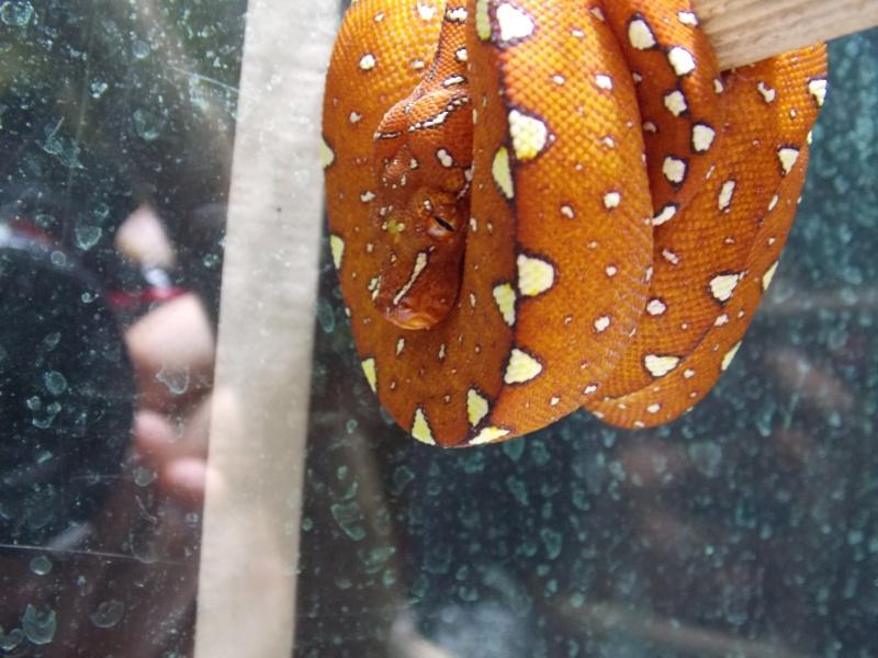 Morelia viridis Biak 2014 Dscn3112