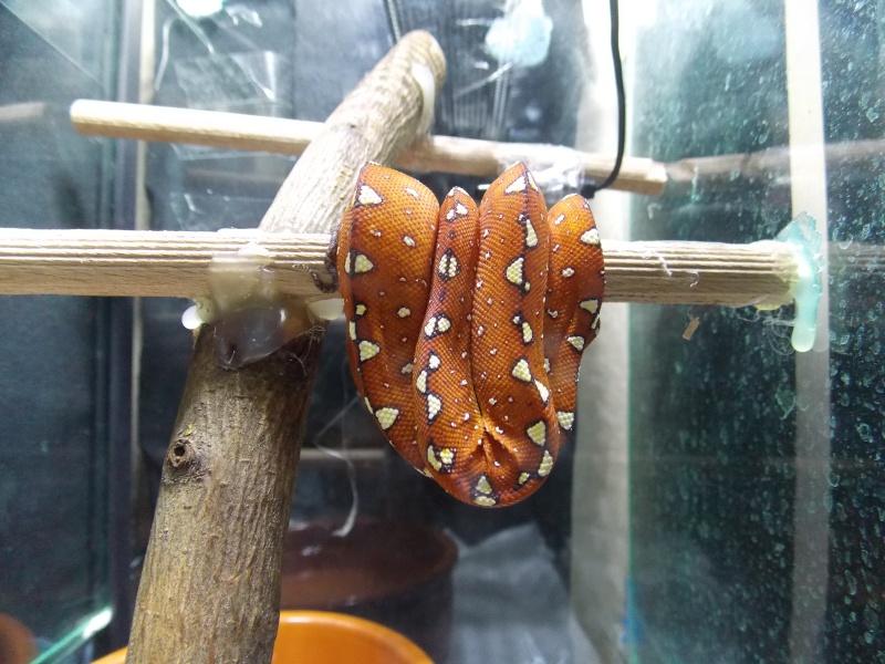 Morelia viridis Biak 2014 Dscn3113