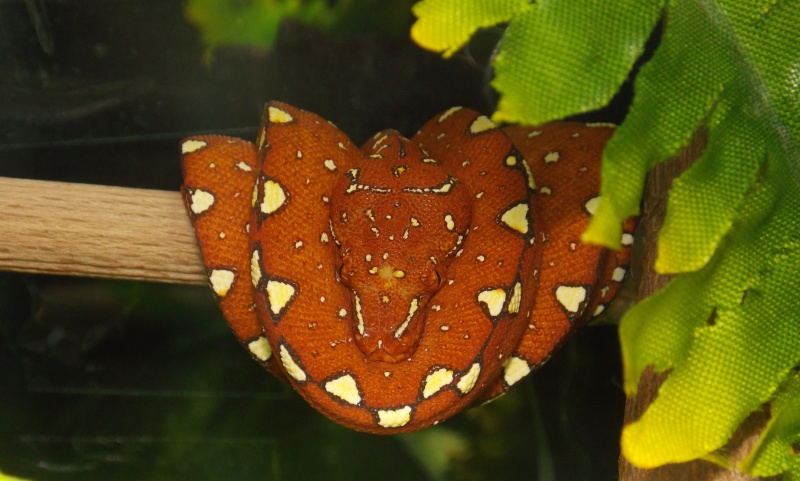 Morelia viridis Biak 2014 Dscn3115