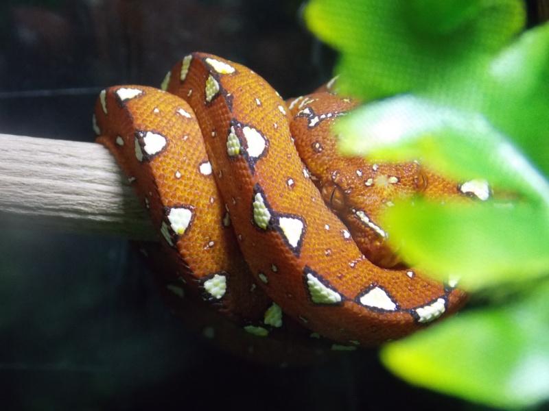 Morelia viridis Biak 2014 Dscn3117