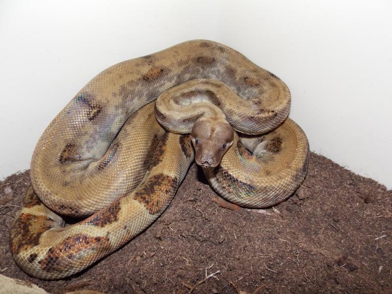 Boa constrictor sabogae Dscn3611
