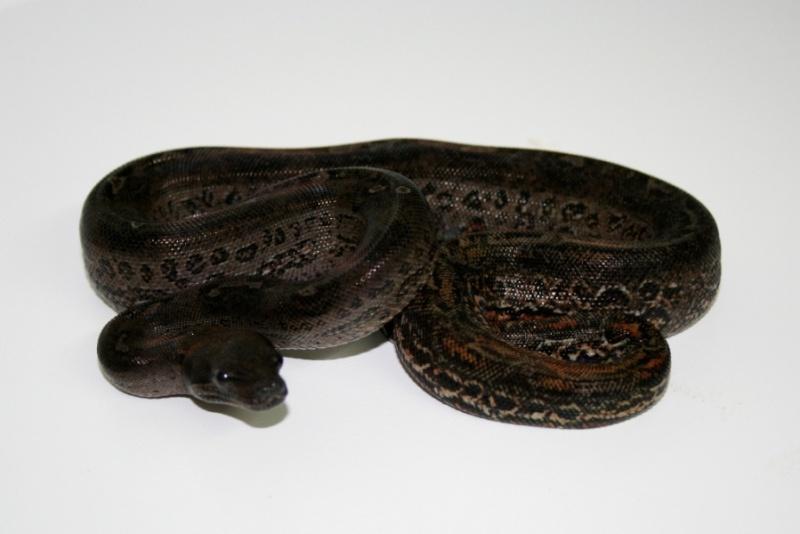 Boa constrictor sabogae Qsdqsd10
