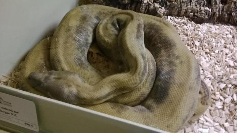 Boa constrictor sabogae Tronc11