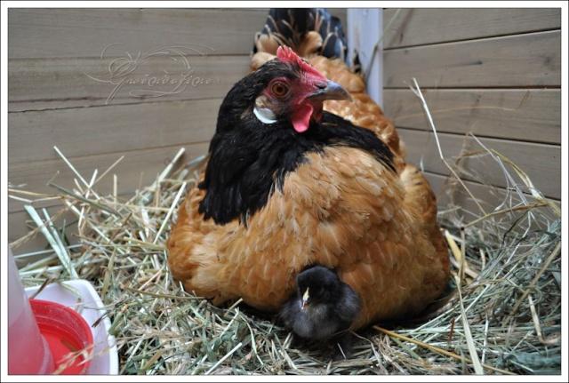 2014 - Couvaison naturelle, une partie des mamans 2014 123910