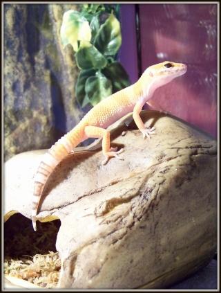 voilà Tabasco gecko leopard  104_5111