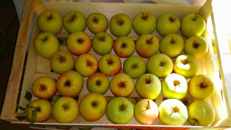 Ramasser ses pommes au verger. 20140916
