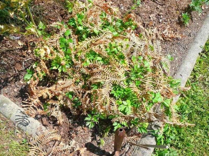 Protéger ses jeunes plants avec des fougères A18