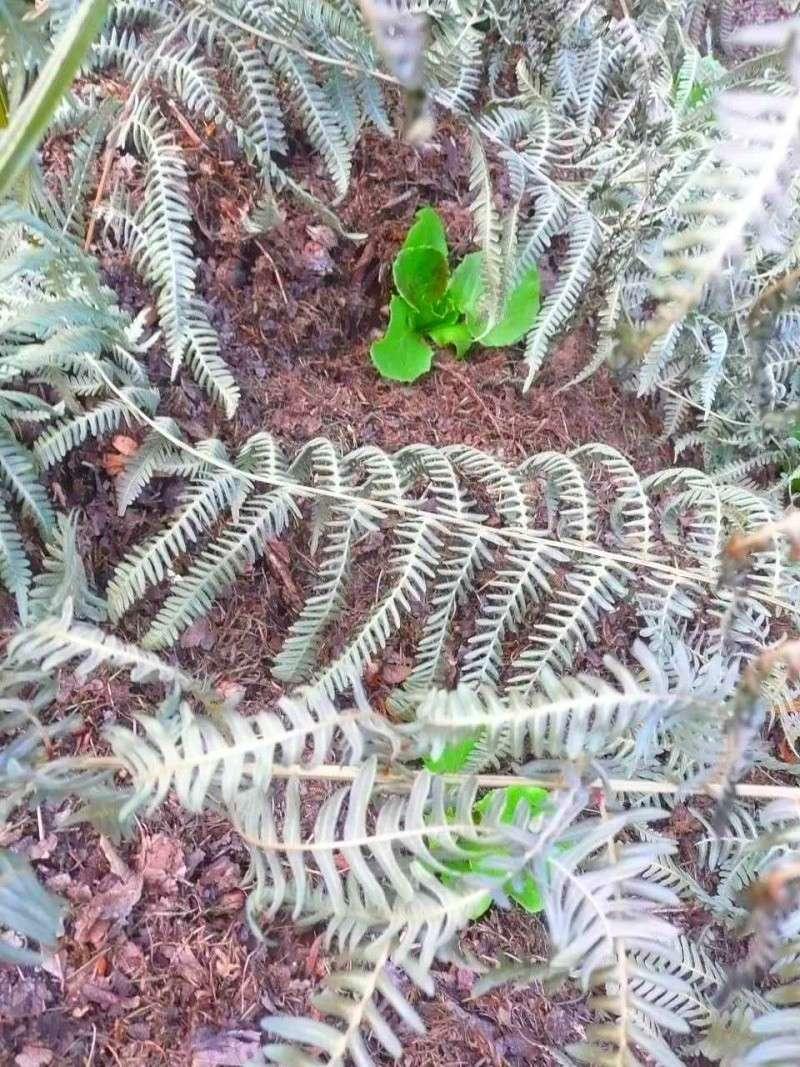 Protéger ses jeunes plants avec des fougères D14