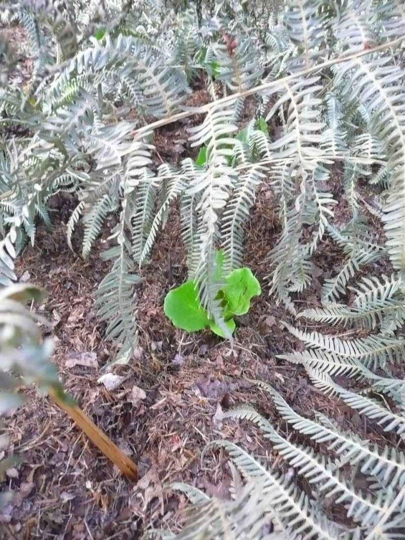 Protéger ses jeunes plants avec des fougères E13