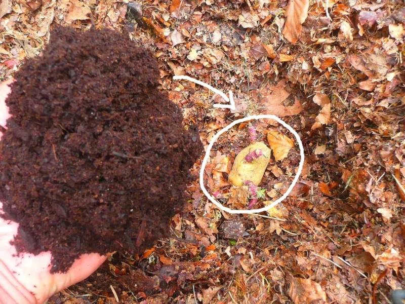 Des petites pommes de terre P1350530