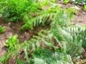 Protéger ses jeunes plants avec des fougères A16