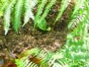 Protéger ses jeunes plants avec des fougères B15