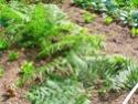 Protéger ses jeunes plants avec des fougères C15