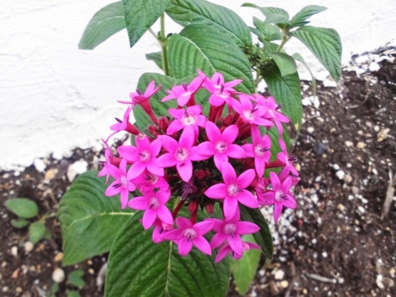 Fuschia dans mon jardin Image16