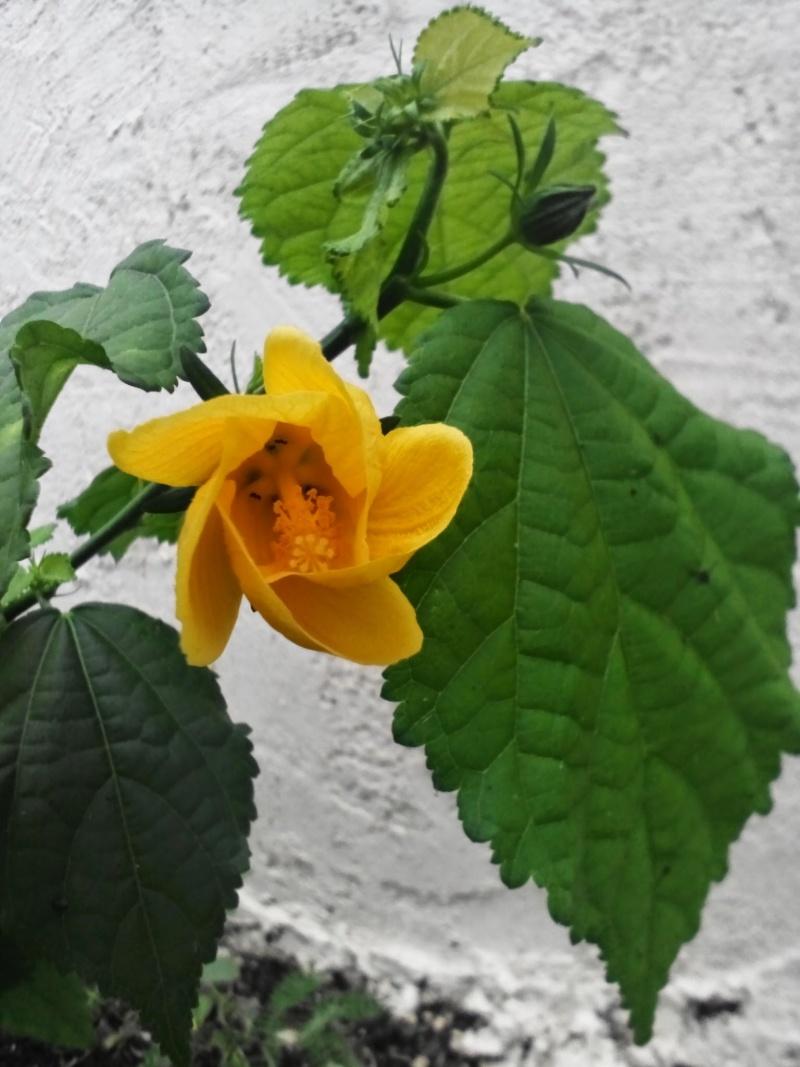 hibiscus jaune a vertus médicinales Image30