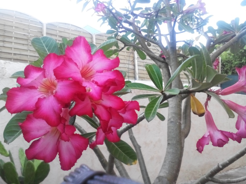 rose du désert  Img_2018