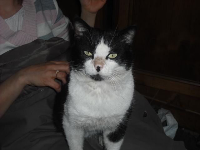 Noé chat noir et blanc mai 2012 FIV+ (ADPK35) 20283710