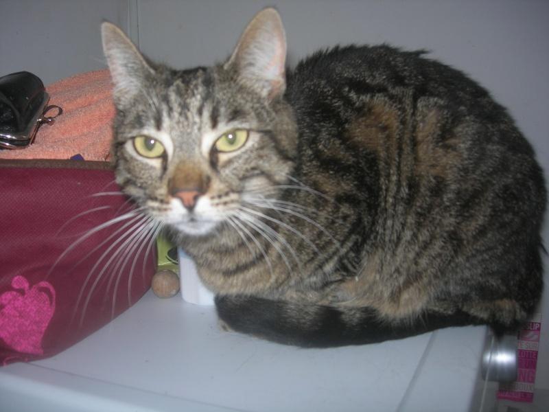 Trouvée chatte tigrée tatouée 3 ans du nom de kiki sur Nice nord  Dscn5310