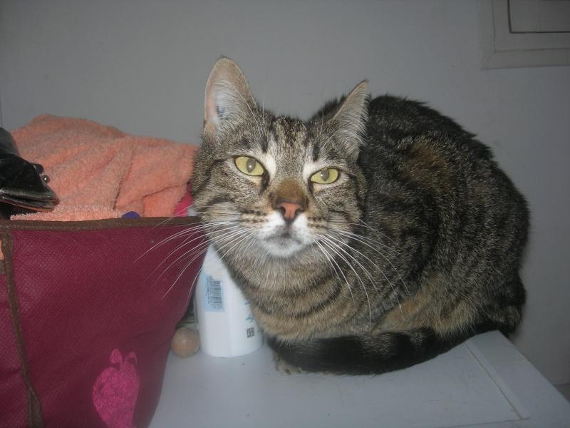 Trouvée chatte tigrée tatouée 3 ans du nom de kiki sur Nice nord  Dscn5311
