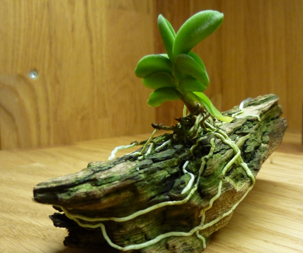 Angraecum aloifolium Angrae10