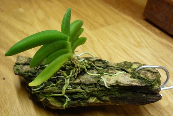 Angraecum aloifolium Angrae12