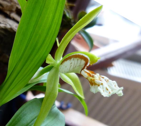 Miniatur- Orchideen - Seite 21 Coel_p15