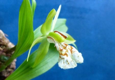 Miniatur- Orchideen - Seite 21 Coelb11