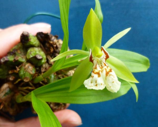 Miniatur- Orchideen - Seite 21 Coelb410