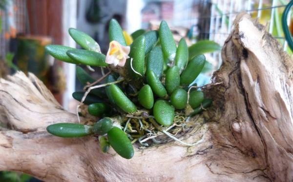 Miniatur- Orchideen - Seite 22 Dend_l10